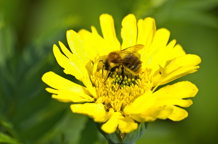 A bumblebee collects nectar from a yellow blossom. Stock Photo