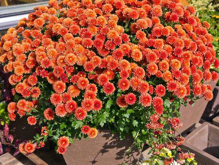 Orange red flowers in a garden pottery.