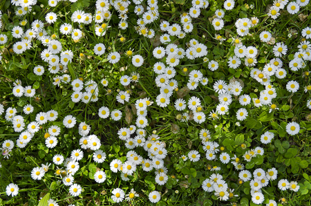green flower: Daisies and clover on a meadow.