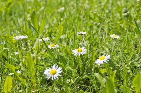 Margrieten op een weide in het voorjaar.