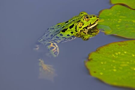 waterlilly: Water frog - Pelophylax - at a leave of the waterlilly.