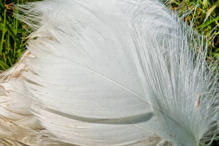White feather of a bird close-up.