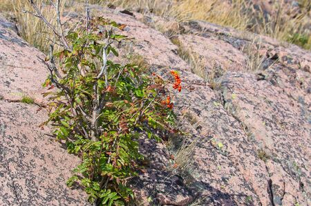 aucuparia: Sorbus aucuparia, Commonly called rowan tree, grows between boulders of reddish granite. Stock Photo