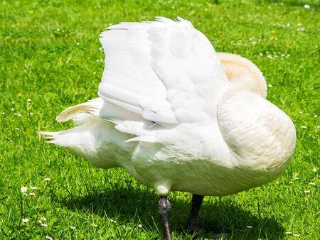 White mute swan on a green meadow.