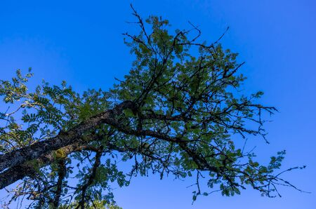 sorbus aucuparia: Sorbus aucuparia, Commonly called rowan or mountain-ash. Stock Photo