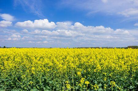 Landscape of a rapeseed field.