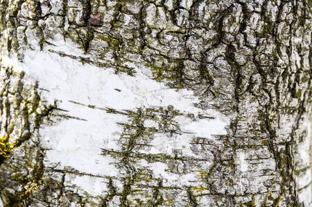 Pattern of a birch tree bark.