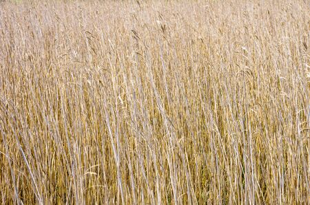 View over and into a reedbed. Stock Photo