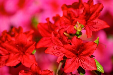 Flowering rhododendron in full splendour. Blühender Rhododendron in voller Pracht.
