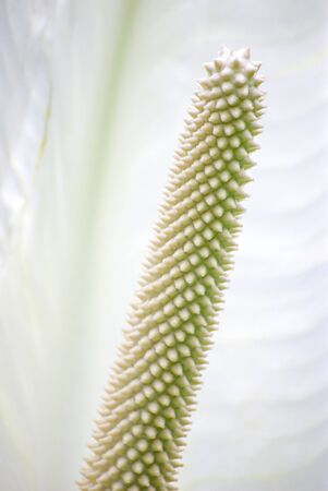 The rod-shaped inflorescence of an arum from the arum family.