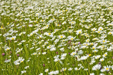 A flower meadow with grass and daisies and various others.