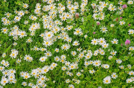 Meadow full of flowering daisies in spring.