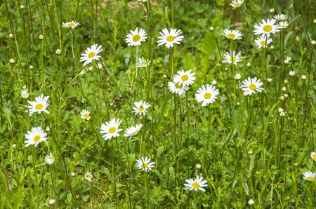 Green meadow full of flowering marguerites. Stock Photo