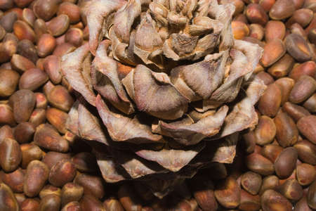 siberian pine: Siberian pine cone and nats Stock Photo
