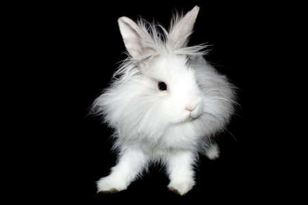 The royal lionhead rabbit