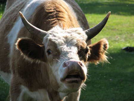 ponderous: wicked bull with large protruding eyes