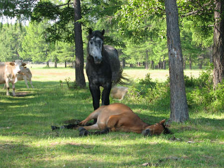 siesta in a shadow (horse languid with the heat) photo