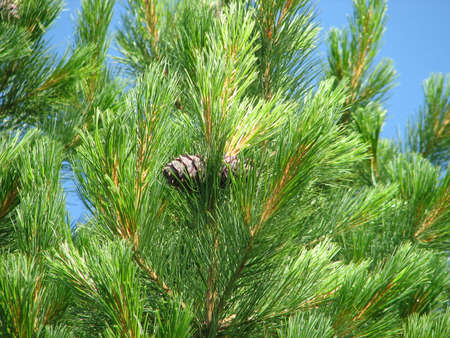 siberian pine: siberian pine with pair of cone on branches on sky background