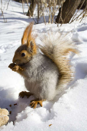 siberian pine: squirrel  on the snow gnawing nuts of siberian pine Stock Photo