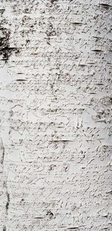brich: Texture of brich bark
