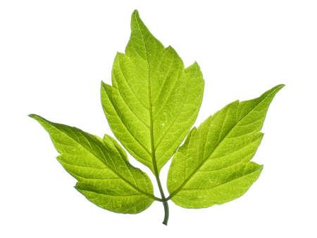 maple tree leaf isolated on white Stock Photo