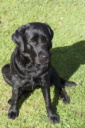 black purebred labrador