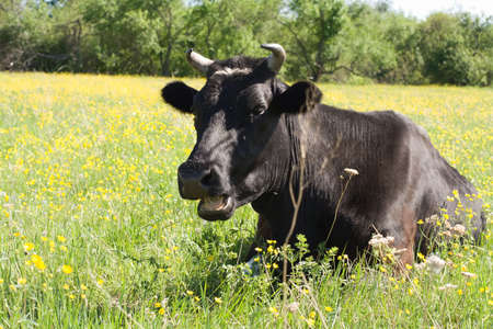cow on a yellow flowers field Stock Photo - 1065168