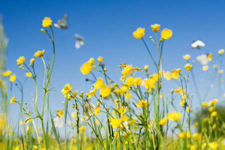 plenty of cabbage white butterfly in flight on a background of the sky photo