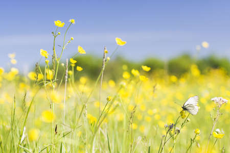 cabbage white butterfly on a yellow flowers field Stock Photo - 1065175