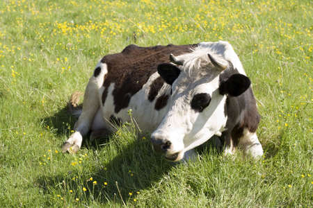 cow on a yellow flowers field photo
