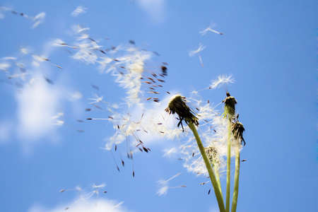 the dandelion seeds flying with down wind photo