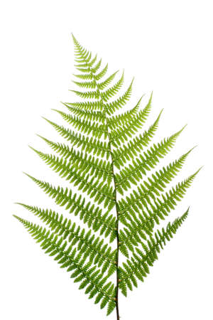 Leaf of a fern on a white background close up