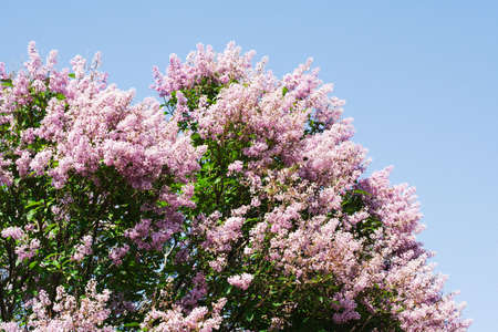 magnificent Lilac tree on blue sky Stock Photo - 1318440