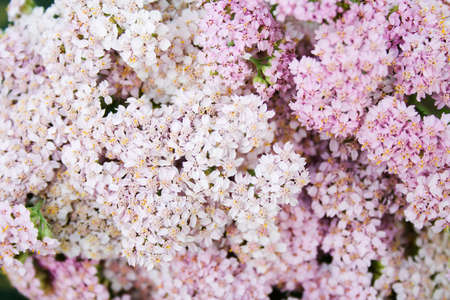 milfoil: inflorescences of pink milfoil flowers as a background