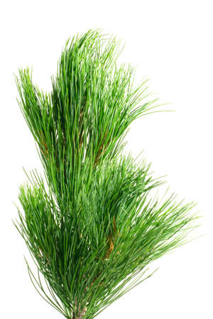 siberian cedar(siberian pine) branch isolated on white (natural habitat - siberia and the Far East). length of needles about 10-15cm. Siberian pine is tree with specific tarry scent. Cones contents very tasty nuts. photo