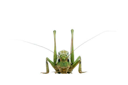 grasshopper isolated on white photo