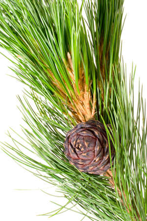 siberian pine: siberian cedar(siberian pine) branch with ripe cone isolated on white (natural habitat - siberia and the Far East). length of needles about 10-15cm. Siberian pine is tree with specific tarry scent. Cones contents very tasty nuts.