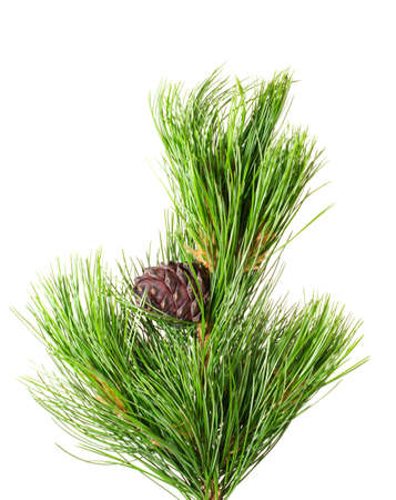 siberian cedar(siberian pine) branch with ripe cone isolated on white (natural habitat - siberia and the Far East). length of needles about 10-15cm. Siberian pine is tree with specific tarry scent. Cones contents very tasty nuts. photo