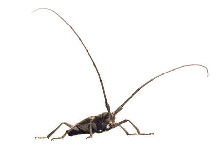 grey beetle (capricorn beetle) with lengthy feelers isolated on white Stock Photo - 1677751