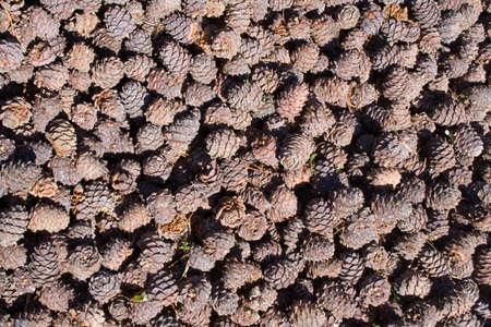 siberian pine: background of siberian cedar (siberian pine) cones (contents very tasty nuts)