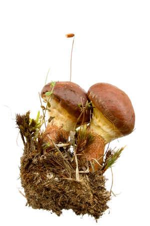 eatable: Boletus luteus - slippery. Eatable mushroom, very delicious. Isolated on white. Stock Photo