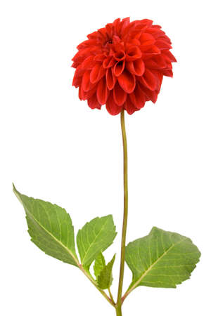 Beautiful red dahlia Isolated On White Stock Photo