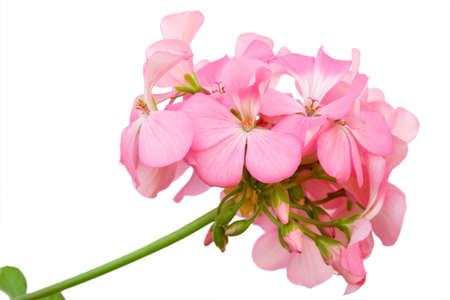 Beautiful inflorescence of pink geranium isolated on white