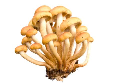 armillaria - Honey fungus isolated on white. Eatable mushroom, very delicious. Stock Photo