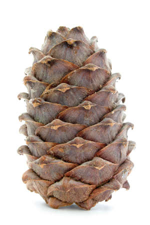 siberian pine: siberian cedar (siberian pine) cone isolated on white