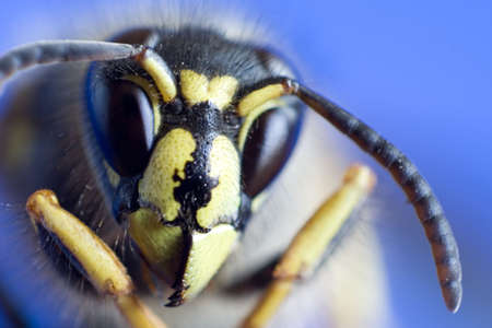 stinger: Macro of the Wasp Head on blue background Stock Photo
