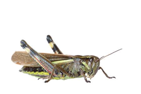 Isolated on white grasshopper photo