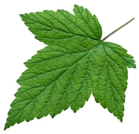 XXL Leaf of Black Currant Stock Photo