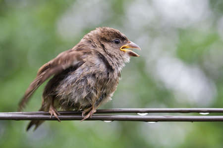 strained: Sparrow fledgeling sitting under rain on strained steel wire  Stock Photo