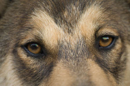Gaze (siberian laika - husky) Stock Photo